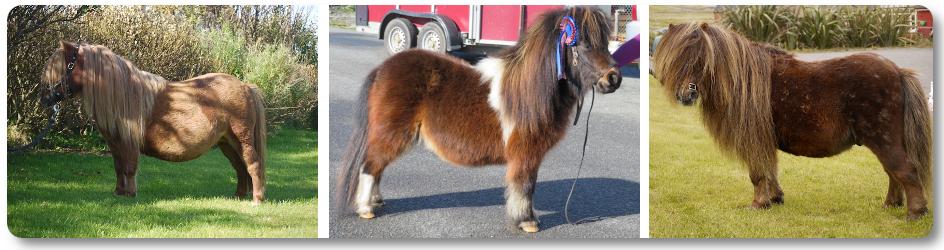 Gue Shetland Pony Stud